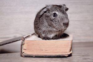 guinea-pig-755556_640